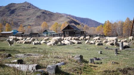 wełna : A flock of sheep grazing in the Altai Mountains