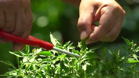 перец чили : Close up of hand of chef cutting chilies on the tree for food.