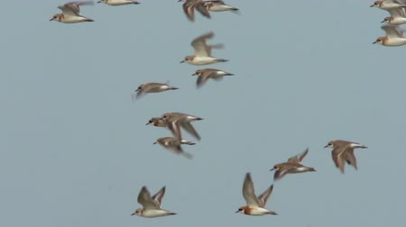 dalgakıran : Lesser sand plover flying across wetland. Mangrove forest is a natural breakwater. Mangrove forest is the habitat of animals and aquatic animals. Wildlife for background concept. Slow motion clip.