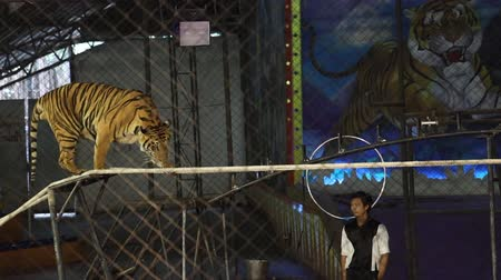 bully : CHONBURI, THAILAND-MAY 22,2019: Behind netting, Bengal Tiger walking on the tightrope at a circus in Thailand. Performing Bengal Tiger is the biggest and extremely rare. The wildlife tourism industry.