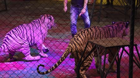 tortury : Behind netting, The biggest of tigers, Royal Bengal Tiger dances at a circus in Thailand. Performing Royal Bengal Tigers are the biggest and extremely rare.