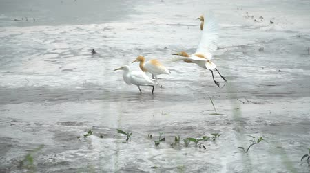reszelt : Cattle egret feeding at wetland, rice filed. Wildlife for background concept. Stock mozgókép