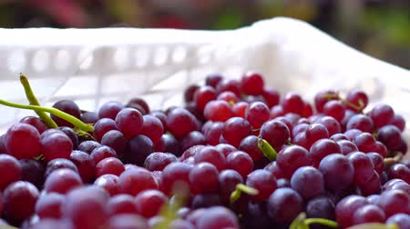 Still life photography of fruit, Organic grape is best fruits for process red wine, Clean food good taste idea concept.
