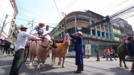 búfalo : CHONBURI,THAILAND-2019, OCTOBER 12: Parade of Buffalo racing festival in Thailand. Every year, farmer will bring buffalo to race for fun before farming season. Culture of farmer in CHONBURI, THAILAND. Stock Footage