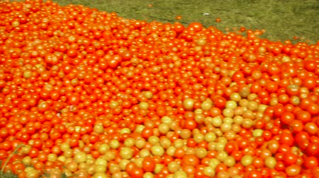 participants : Red tomatoes lie on the ground in green grass