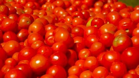 fresh tomato harvest. many red tomatoes Stock Footage