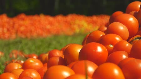 Red tomatoes lie on the ground in green grass