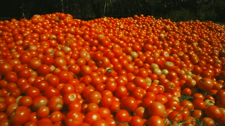 fresh tomato harvest. many red tomatoes Stok Video