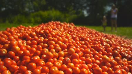 smudged : Red tomatoes lie on the ground in green grass