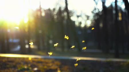 Small midges fly in the park in the rays of the setting sun, Swarm of gnats buzzing in the park, A swarm of mosquitoes flying in the park Stok Video