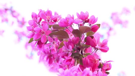 seeding : Pink tree in daylight, branches of spring flowering tree, fruit tree, slow motion