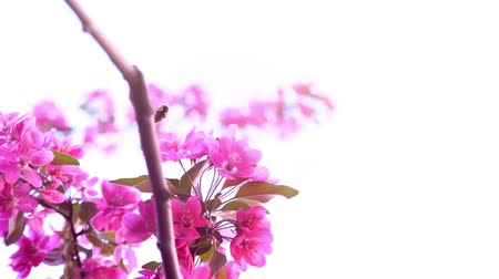 easily : The bee collects nectar on a flowering pink branch, close-up, slow motion