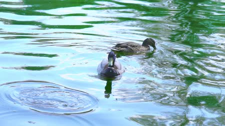 beak : Two wild ducks swimming in a pond, slow motion Stock Footage