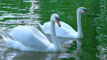 pióro : A pair of white swans swim in the water, swans on the pond, slow motion