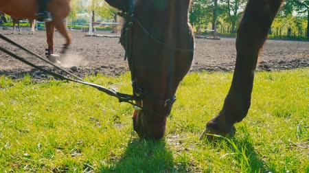жеребенок : The brown horse in the bridle is eating the grass near the training area, the horses muzzle is close up Стоковые видеозаписи