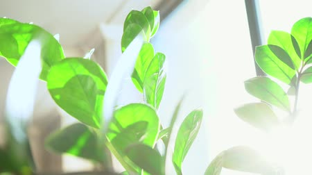 houseplant : Houseplant with green leaves on the windowsill in the morning sun, close-up