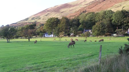 Deer grazing on Lochranza golf course Isle of Arran Scotland