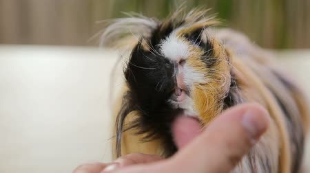 świnka morska : Red long hair guinea pig enjoying scratch hair indoors