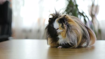 świnka morska : Red long hair guinea pigs on the table under the wind indoors