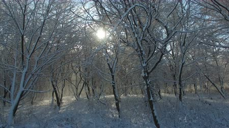 Aerial shot: sun rays shine into camera through trees covered with snow. Drone moves up.