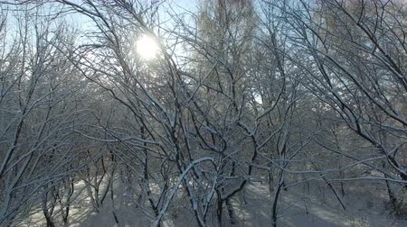 Aerial shot: sun rays shine into camera through trees covered with snow. Drone moves down.