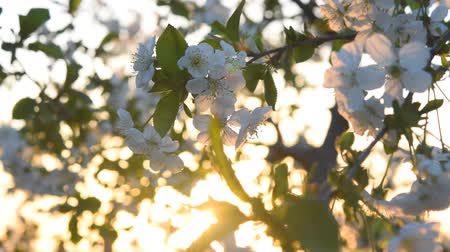 marchs financiers : Cherry flowers on sunrise, spring wind and sun Stock Footage