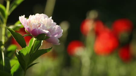 haşhaş : Peony and poppies in the Garden with Birds Sounds Stok Video