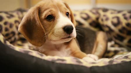 щенок : Cute Beagle Puppy in sofaBed  Стоковые видеозаписи