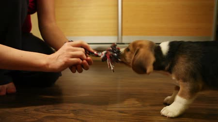 щенок : Tug of war with Angry puppy