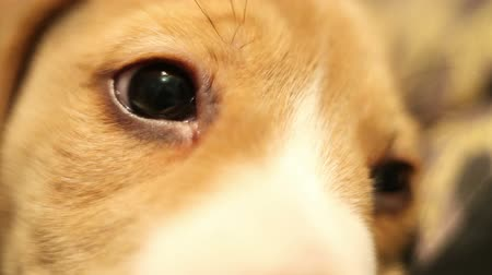 bída : Little beagle puppy pitiful eyes macro shot