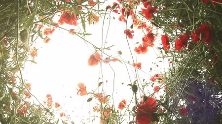 napfény : Lying in the Poppies : fish eye sky view