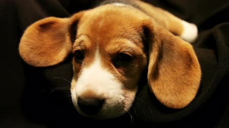 wakeup : Sleeping little beagle puppy on the black background Stock Footage
