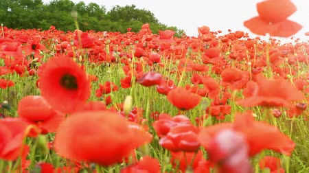 mák : Red Poppies countryside field