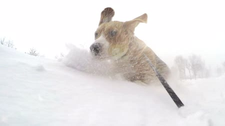 snoot : Active beagle puppy bury oneself into snowdrift slow motion video