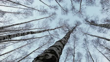 ruský : Head up view on to the birch tops: wind moves trunks of russian trees Dostupné videozáznamy