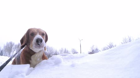 oneself : Active beagle puppy bury oneself into snowdrift slow motion video
