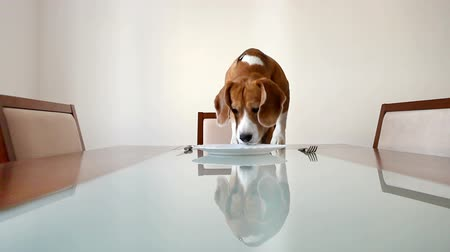 pronto a comer : Dog waiting for a dinner on the served table