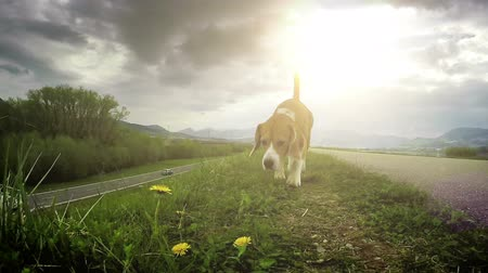 at kuyruğu : Slow motion footage: beagle dog walks by the trail sniffing out for some treat Stok Video