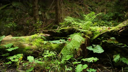 kapradina : Ferns and other undergrowth vegetating near the old stump in the evergreen forest High Definition Video: 29.97 FPS 12sec Please look another footages on my TrainArrival Account. Best Wishes.