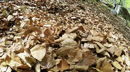 hunting dog : Dogs raving about in an enormous pile of leaves in the spring forest High Definition Video: 29.97 FPS 20sec Please look another footages on my TrainArrival Account. Best Wishes.