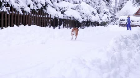 deep snow : Beagle dog walk on the snowy mountain village roads