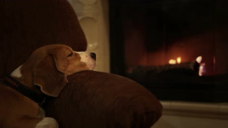 şömine : Cute beagle lying in the armchair watching the flame blickering in the fireplace  Stok Video