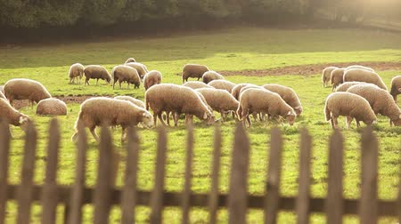 koyun : A herd of sheep grazing on the green meadow  High Definition Video : 29.97 FPS  8sec Please look another footages on my Train_Arrival Account.  Best Wishes.