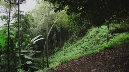 prospective : Bamboo plantation grove on a slope overgrown with ferns in a tropical forest