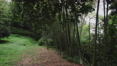 prospective : Bamboo plantation on a slope in the rainforest. Botanical Garden of Batumi