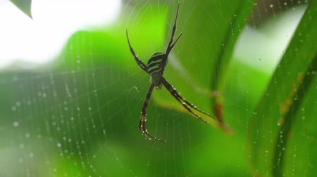 cross spider : A macro shot of a yellow striped spider while slowly panning to the right Stock Footage