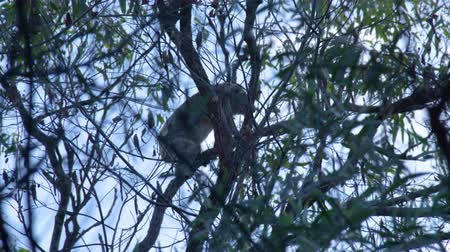koala bear : A shot of a koala that is climbing up a tree branch during late afternoon.
