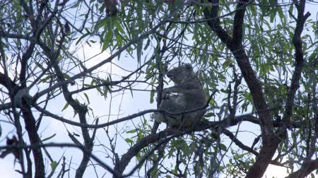 koala bear : A shot from beneath the tree, a koala is sitting on a tree branch during an afternoon. Stock Footage
