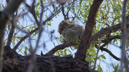 koala bear : A shot of a koala eating its food. The shot was behind tree branches. Stock Footage