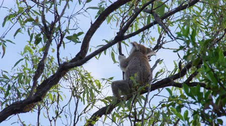koala bear : Shot under a tree, a koala is trying to reach leaves while sitting on a branch. Stock Footage